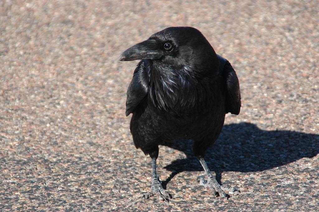 Aggressive Killer Crows